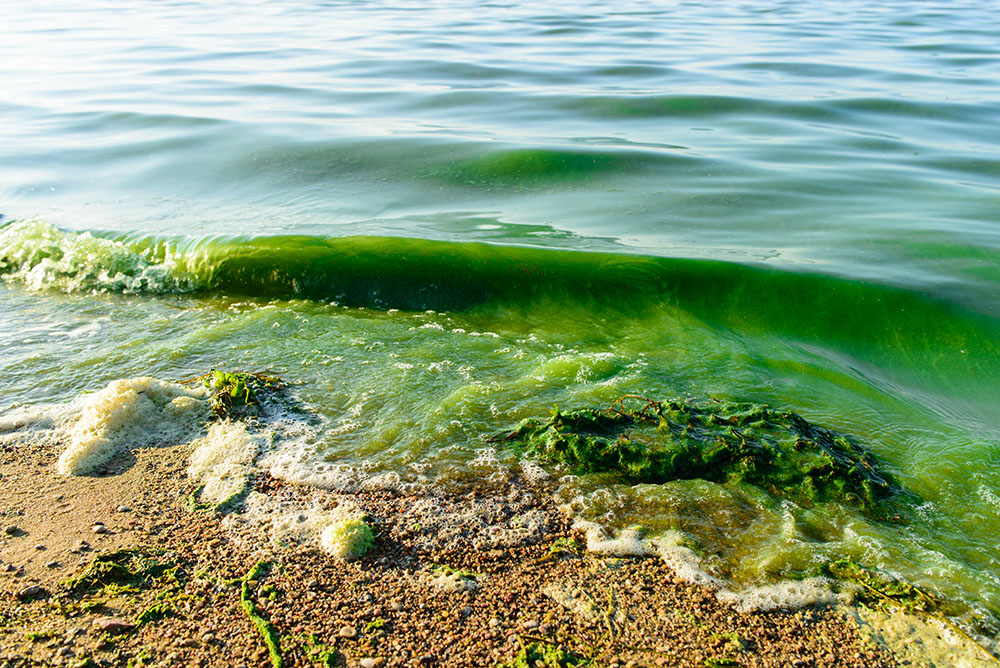 Green algae bloom in lake and shoreline